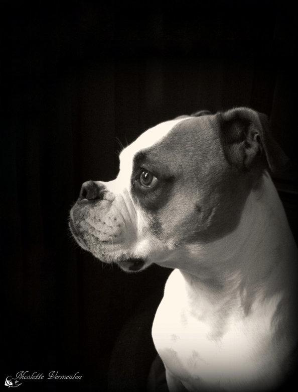 Portret van Mike, Amerikaanse bulldog - Herinnering aan mijn beste vriend