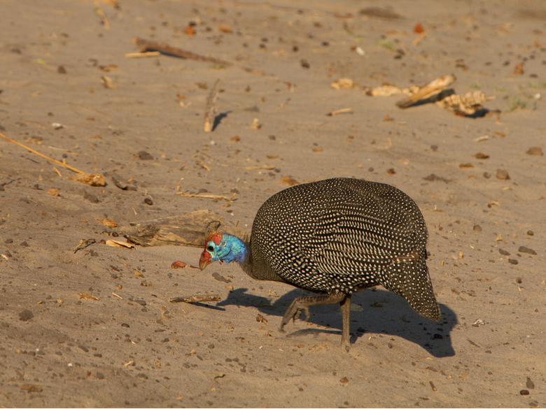 Helmeted Guineafowl Botswana  - Helmeted Guineafowl Botswana
