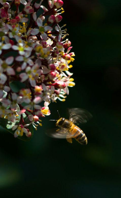 Drukke bij in de zon - Een bij waarbij de beweging in de vleugeltjes goed te zien is.