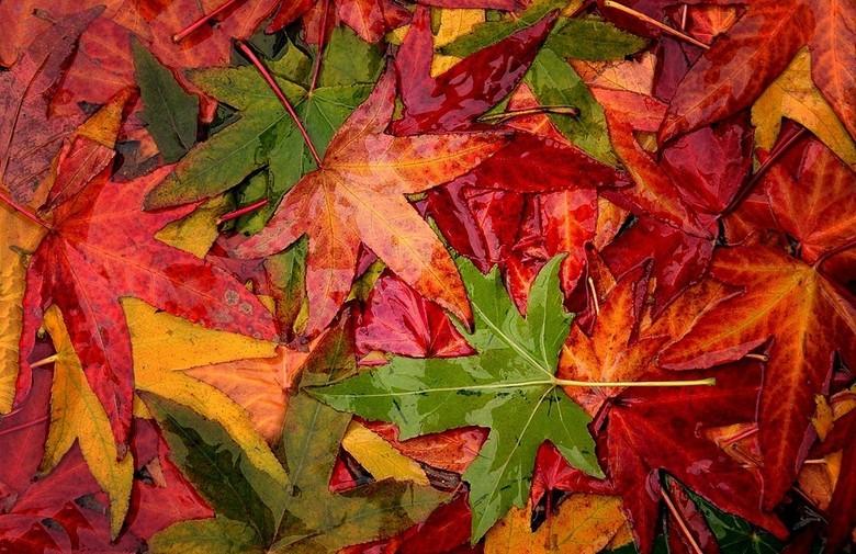 Herfstkleuren - Tussen de buien door gisteren toch maar ff op pad. Haast geen beest te bekennen, dan maar een foto van blad op de grond.<br /> Fijne