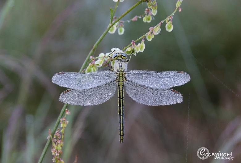Libel - Gistermorgen weer heel vroeg opgestaan en in eerste instantie op vlinderjacht gegaan samen met mijn mede fotografie liefhebber Jurgen. We zijn