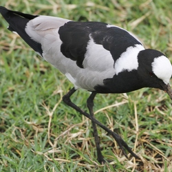 Vogel op zoek naar lekkers in de modder