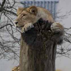 Leeuwinnen in de boom