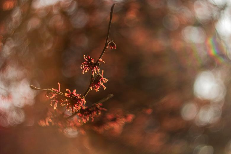 hama@helios - Gisteren ben ik een dagje naar Arboretum Kalmthout geweest waar de hamamelis weer volop bloeit. Het heerlijke zonnetje deed het vooral h