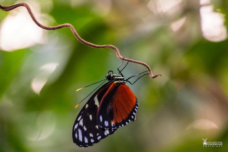 Vlinders aan de Vliet - De Heliconius hecale vlinder komt voor van Mexico tot Peru, zowel voor in open weilanden als in tropische regenwouden.<br />