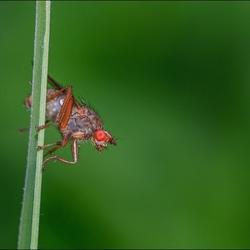 Vliegje op een grasspriet.