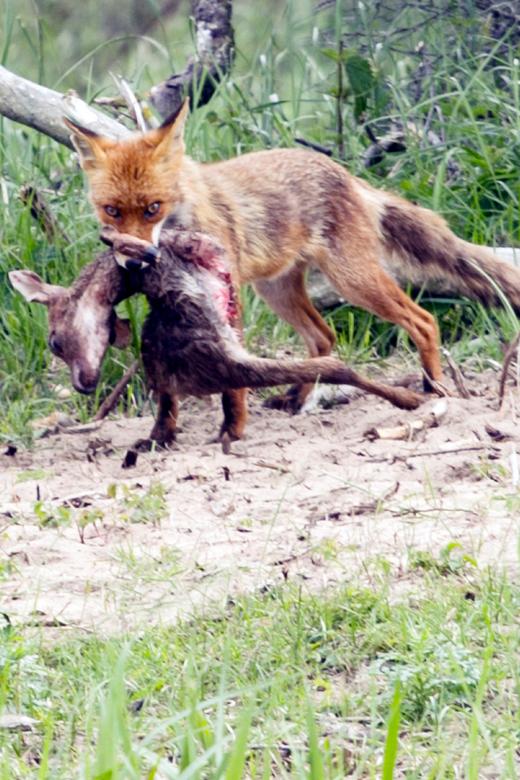 Vos met prooi - Kwam een klein vos tegen in de duinen van de zilk met een klein hertje in zijn bek was een mooi moment om een foto van de maken....<br