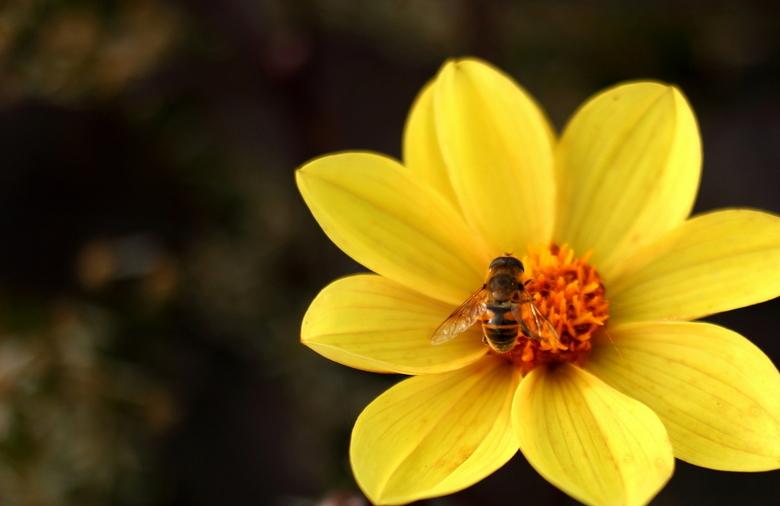 Bijtje :) - Mooie bij op bloempje