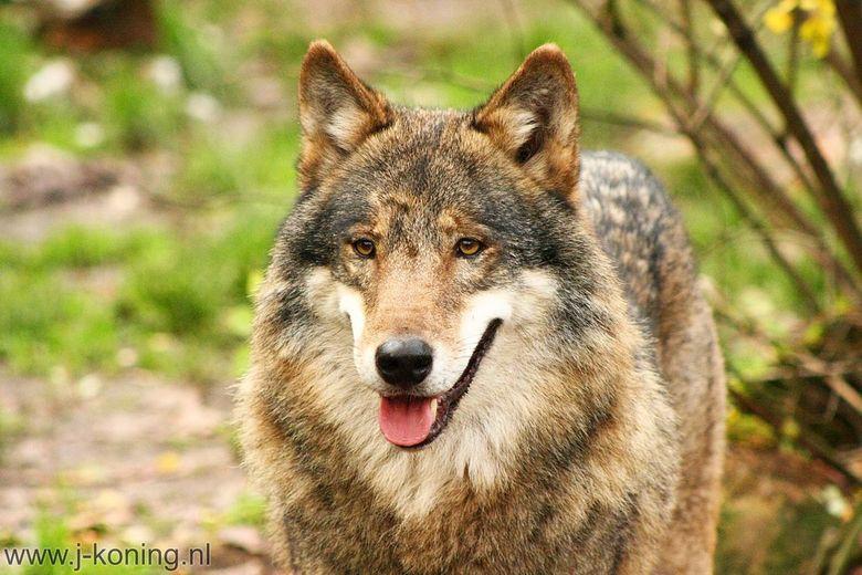 Wolf 1 - Een Europese wolf kwam poseren in Tierpark Nordhorn