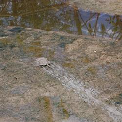 Degenkrab in BZ Mangrove