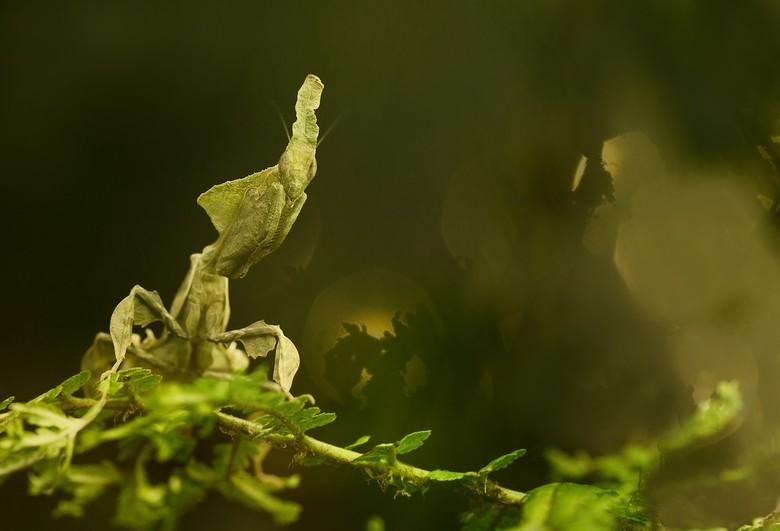 phyllocrania paradoxa - prachtig diertje deze bidsprinkhaan die in gewoon hollands ook wel ghost mantis heet .dat geldt vooral voor de donkerder uitvo