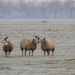 Eksters op schapen