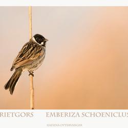 Rietgors Emberiza schoeniclus