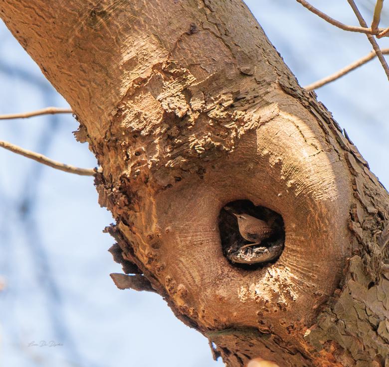 Winterkoninkje gespot in zijn nestje  -