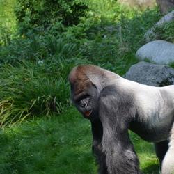 bokito is ook maar een gorilla