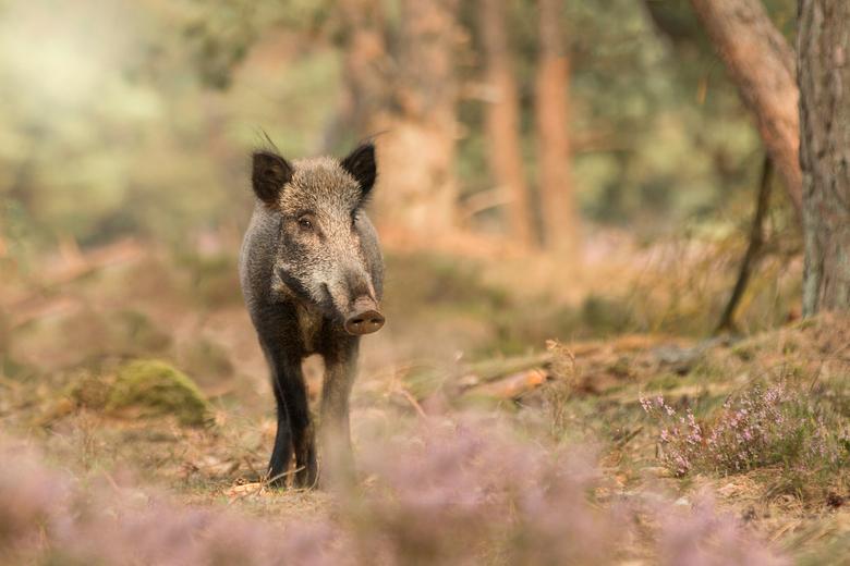 wild zwijn - Afgelopen zaterdag voor de herten bronst naar de Veluwe gegaan, helaas nog geen bronst maar wel zwijnen.
