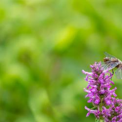 Platbuik vrouwtje (Libellula depressa)