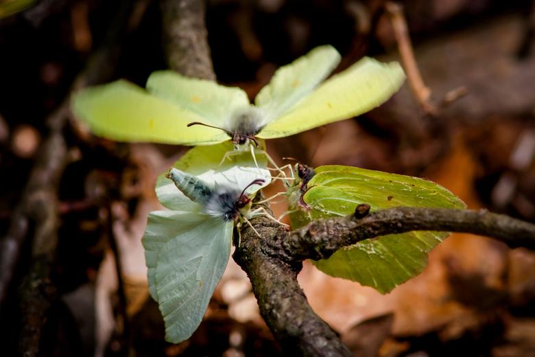 Love is in the air  - Trio citroenvlinders, het vrouwtje heeft haar achterlijf al opgetild en is bereid om  met 1 vd heren te paren.