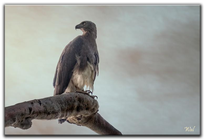 Birds Of India - De grote rivierarend in India.<br /> Tijdens onze vakantie heb ik geen statief mee genomen, altijd lastig met het gewicht van de bag