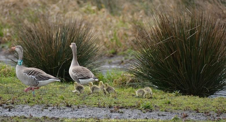Oostpolder, Grauwe gans met kuikens - De eerste jonge Grauwe gansjes zijn geboren.<br /> Foto gemaakt in de Oostpolder nabij Noordlaren.