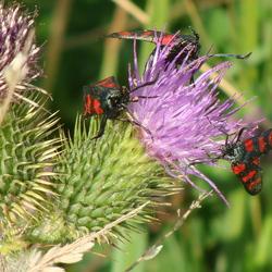 Sint Jacobs vlinders.
