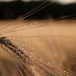 graan op een zomerse regen avond