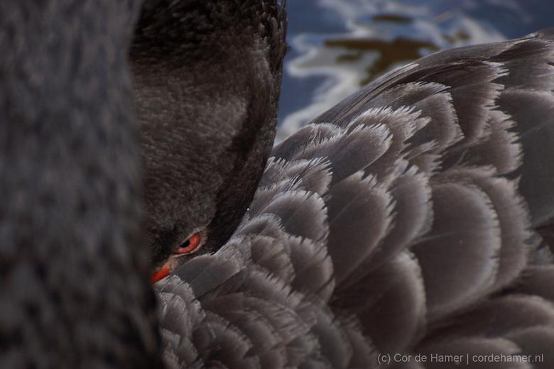 Zwarte zwaan - Deze zwarte zwaan bij Het Oude Loo in Apeldoorn probeerde verstoppertje te spelen.