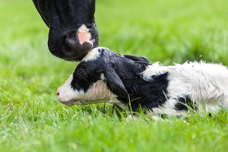 First kiss - Vanmiddag bij de geboorte van een kalfje mogen zijn om foto's te maken.