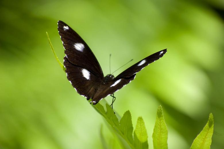 Vlinder - Foto is in Australië. Mooie zwarte vlinder met groene achtergrond