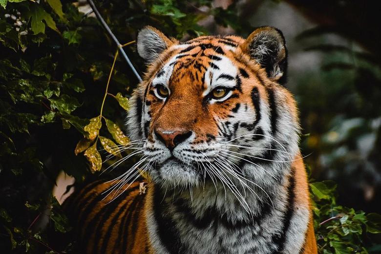 Hello Beautiful Tiger  -