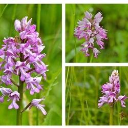 Wilde orchideeen