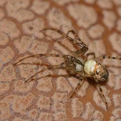 Spin op een Parelamaniet.