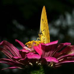 Vlinder op Saparua