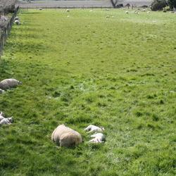 IMG_1645 Slapende schapen met lammetjes