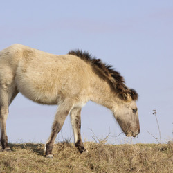 Konik - Paard