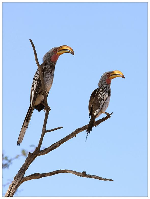 Hornbill - Hornbill