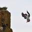 Papegaaiduiker landing