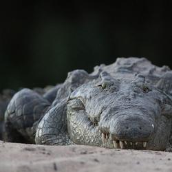 Krokodil op de zandbank