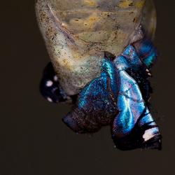 geboorte blauwe morpho