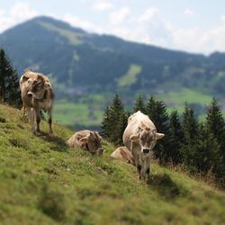Koeien in de bergen, Allgau, Duitsland
