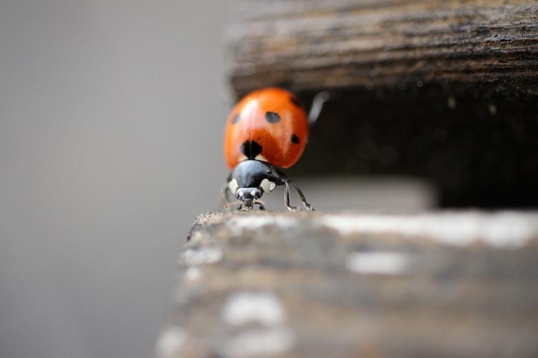 Lieveheersbeestje  - Na een flinke regenbui kruipt dit lieveheersbeestje van plank naar plank over de houten bank op het balkon. De afgelopen maanden