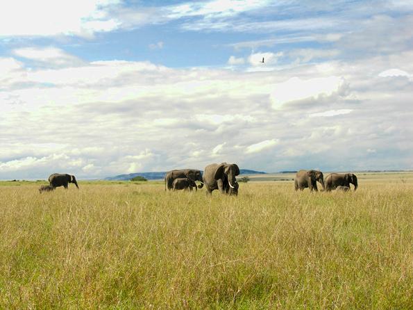 Olifanten in de Afrikaanse savanne -