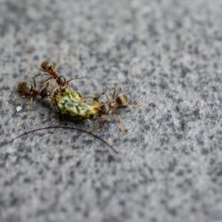 Mieren Slepen met een stukje Rups