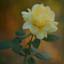 Old Rose #2