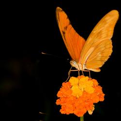 Mooi oranje vlinder