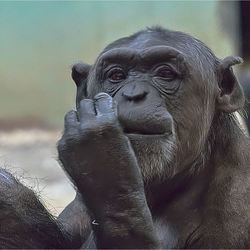chimpansee 04