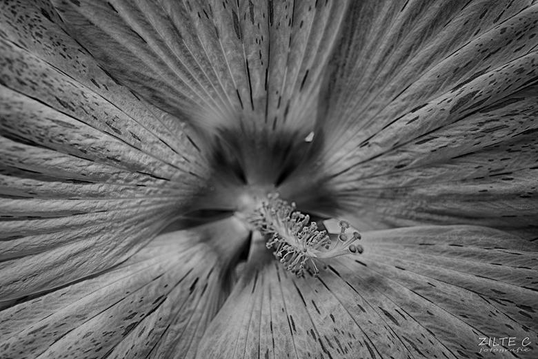 Hibiscus Black&amp;white - Integrerend hoe je anders naar dingen gaat kijken wanneer je het omzet in zwart/wit....<br /> Deze liefelijke, grote, wit