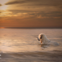 Golden retriever during the golden hour
