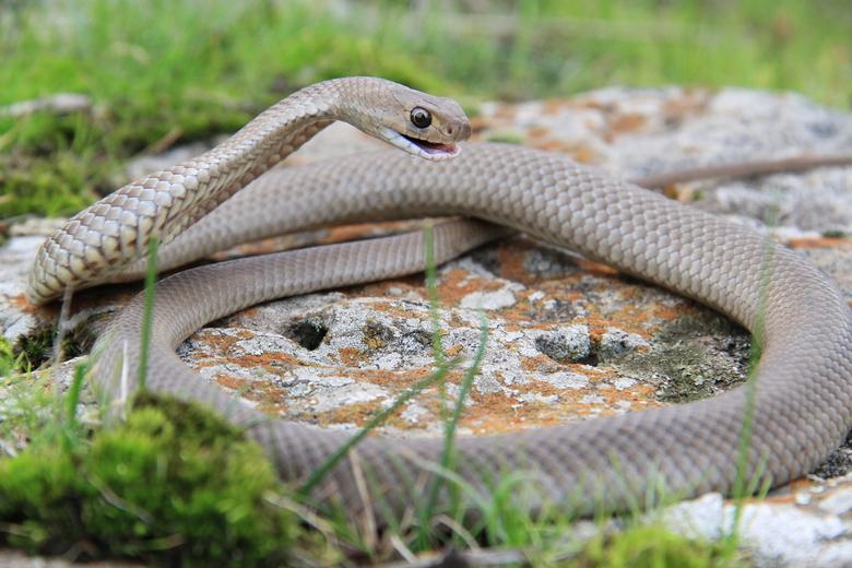 Brown snake -