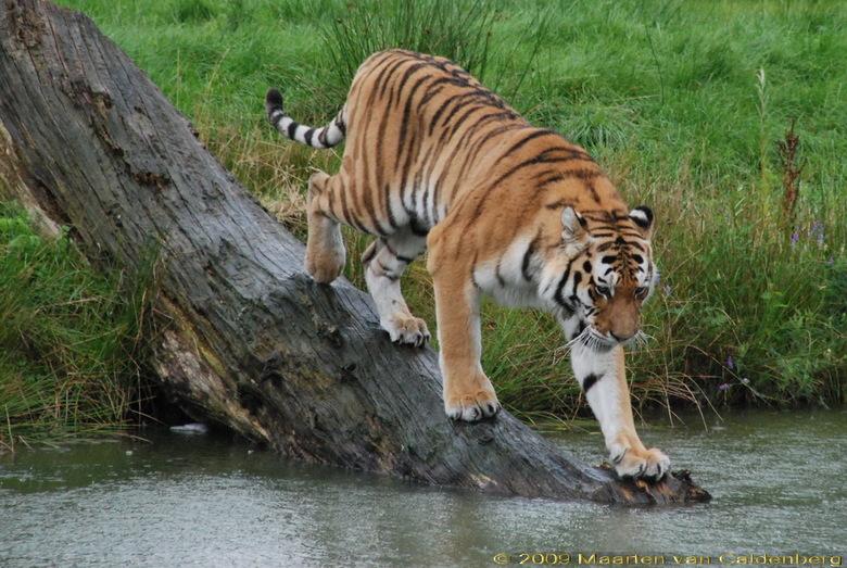 Zal ik er in gaan? - In de Beekse Bergen stond deze tijger, tijdens een regenbui, klaar om er in te gaan of toch niet?